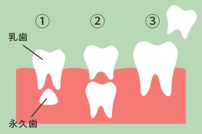 歯の生え変わりの仕組み